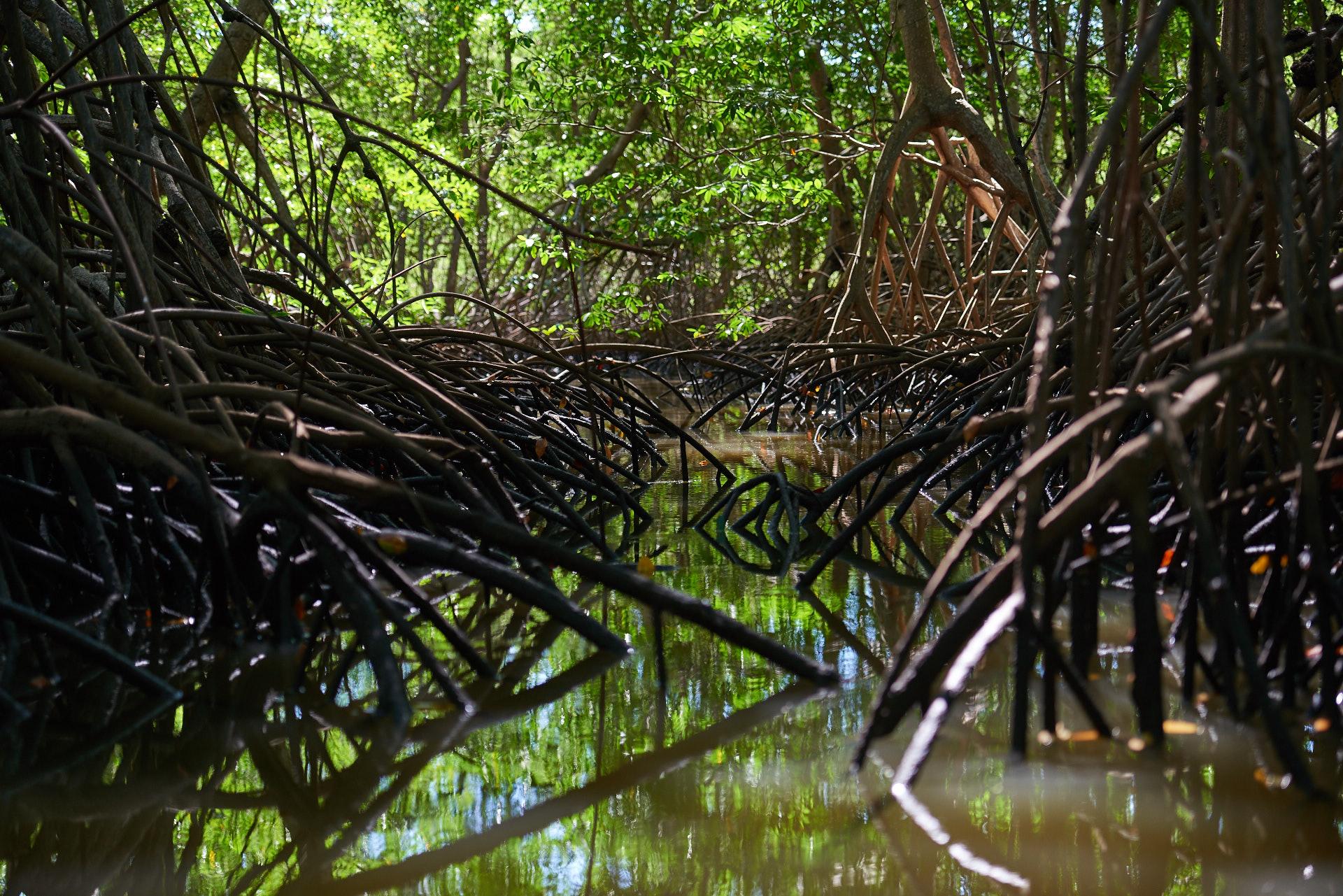 mangrovie a Tamarindo