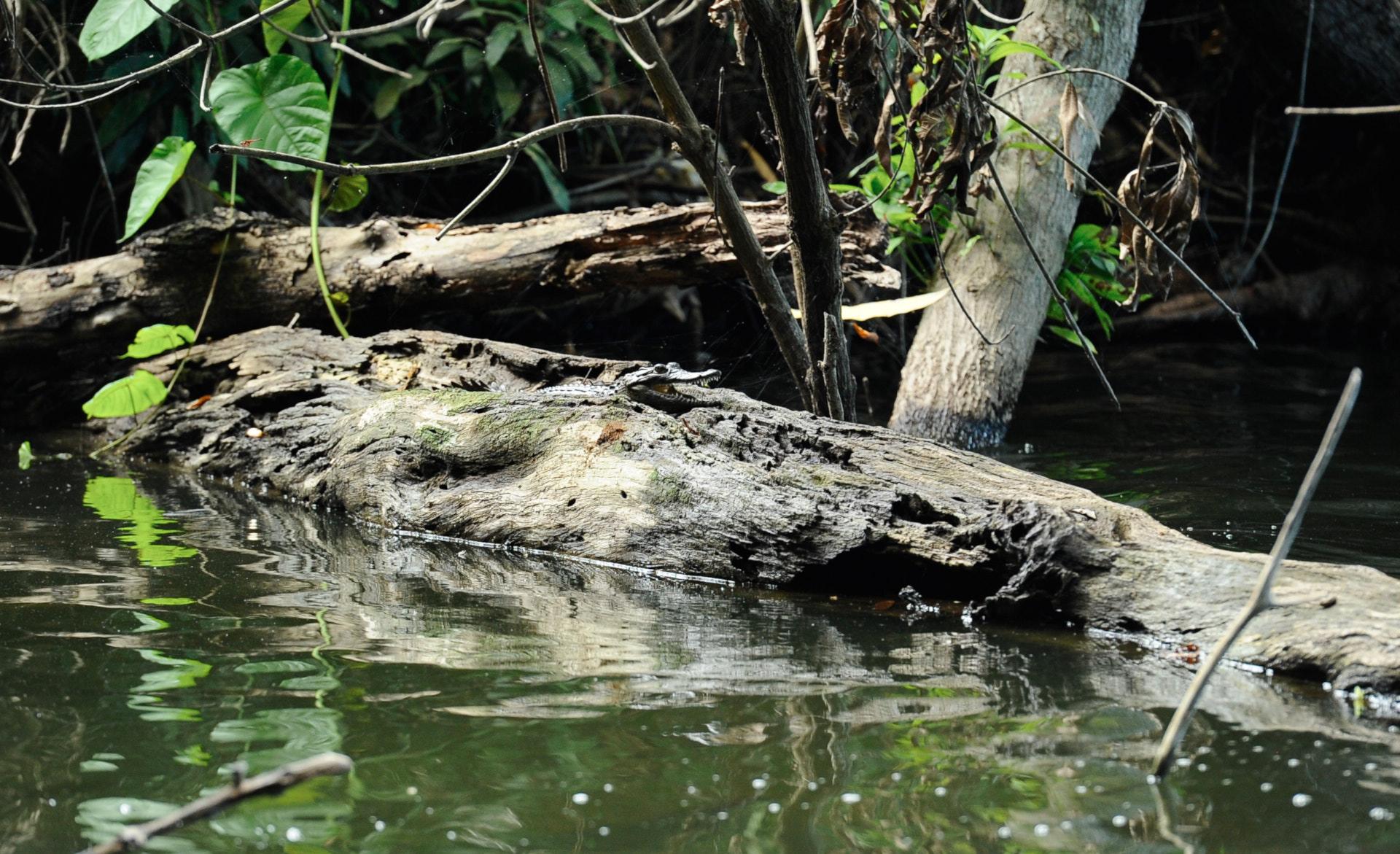 coccodrillo dei laghi vulcanici