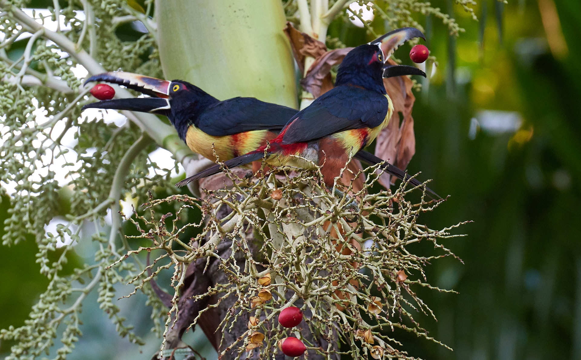 tucani a selva verde