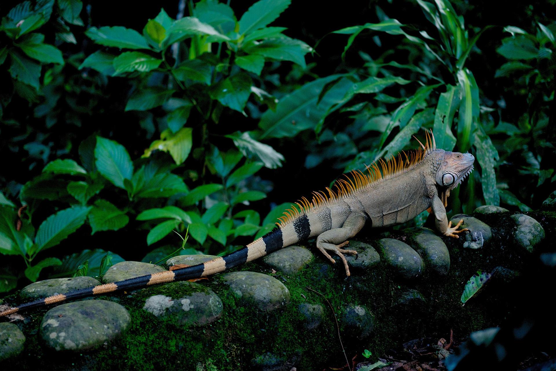 iguana selva verde