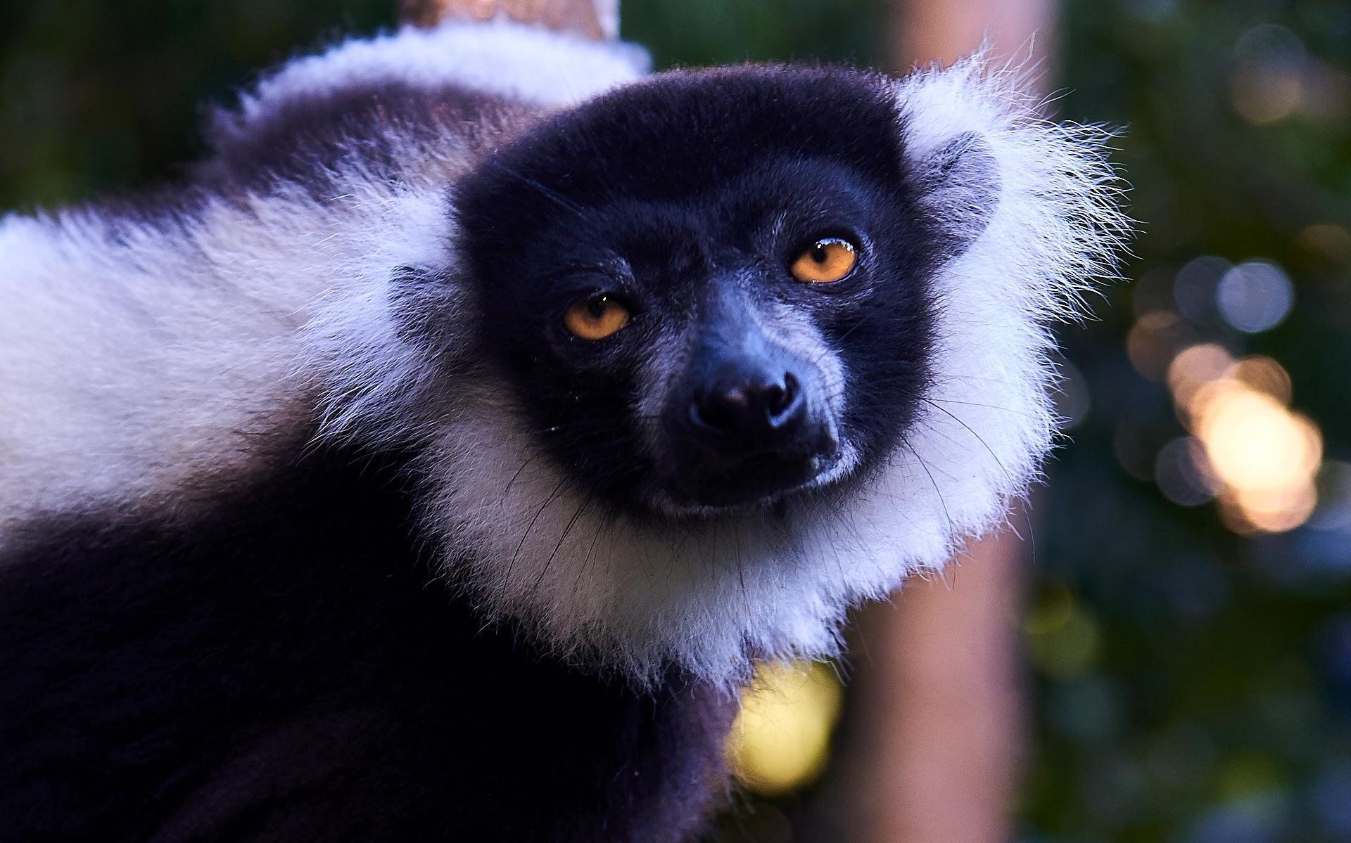 Lemure bruni