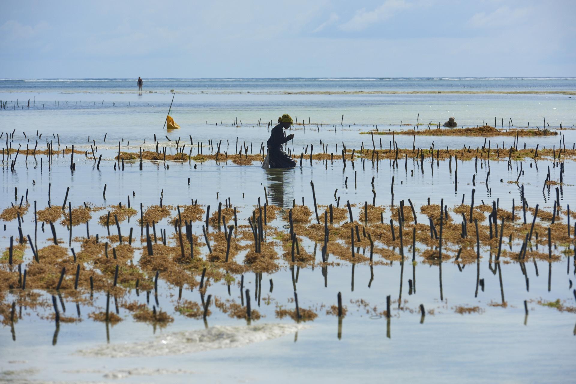raccolta delle alghe