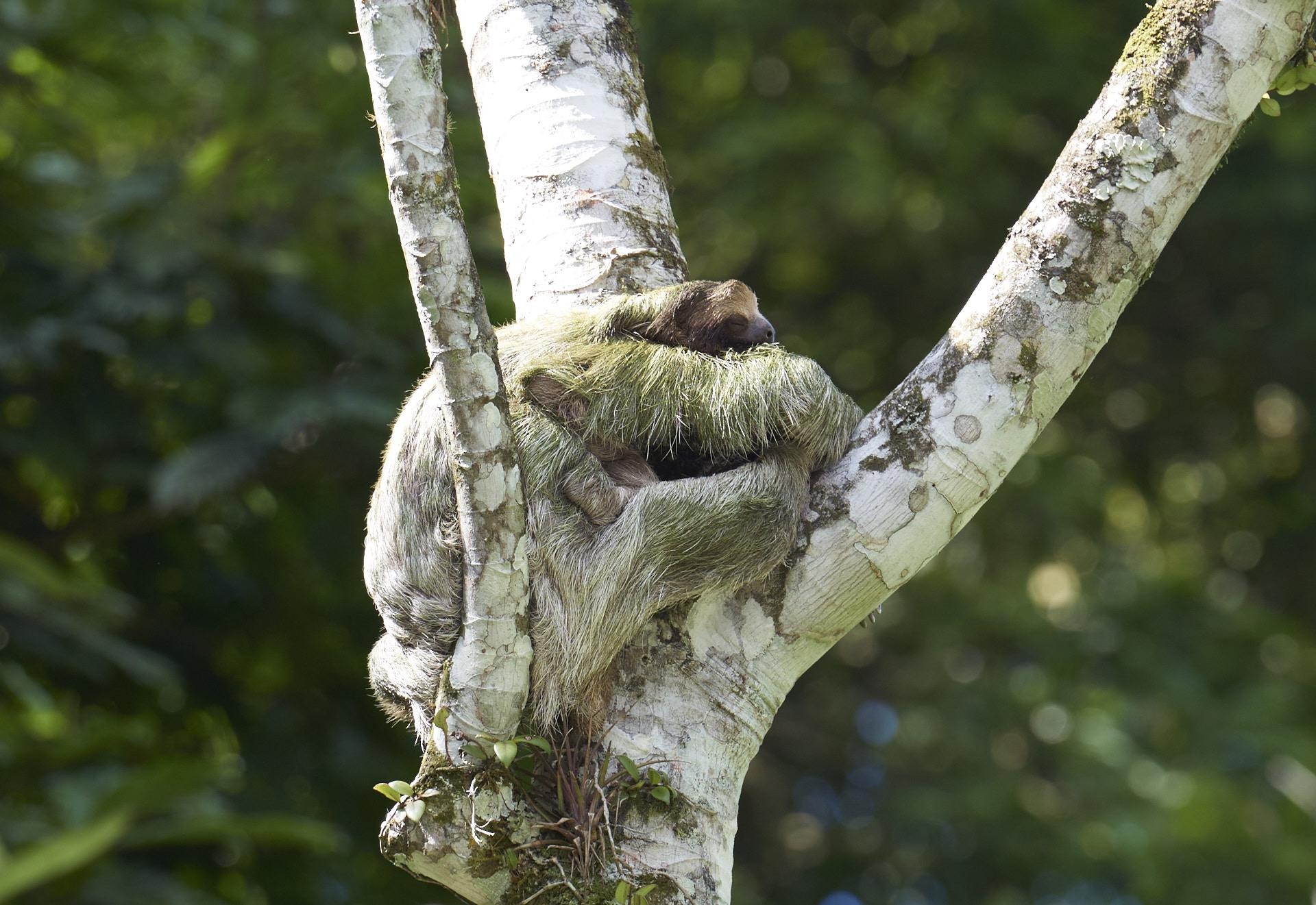 bradipo con il piccolo