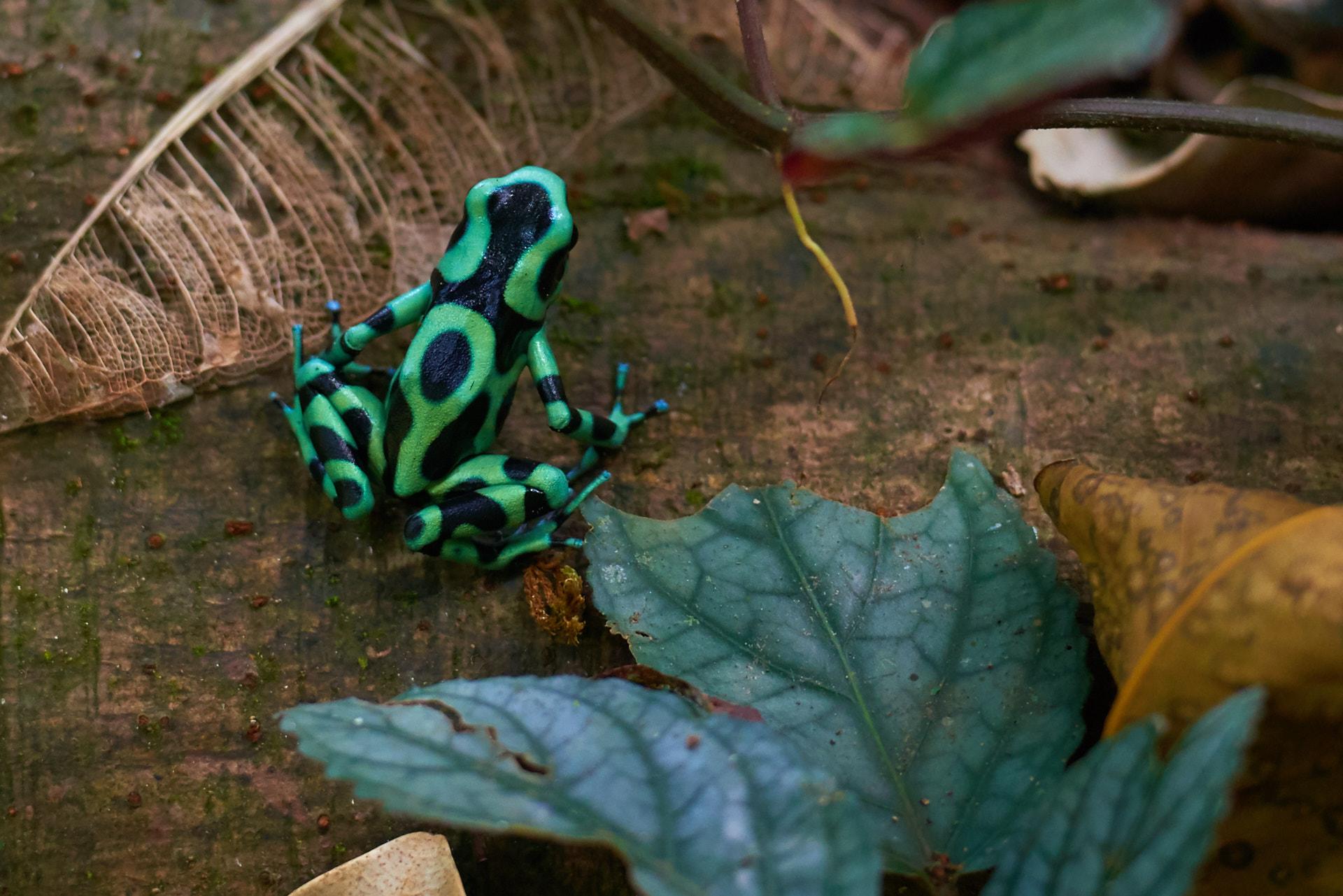 rana a selva verde