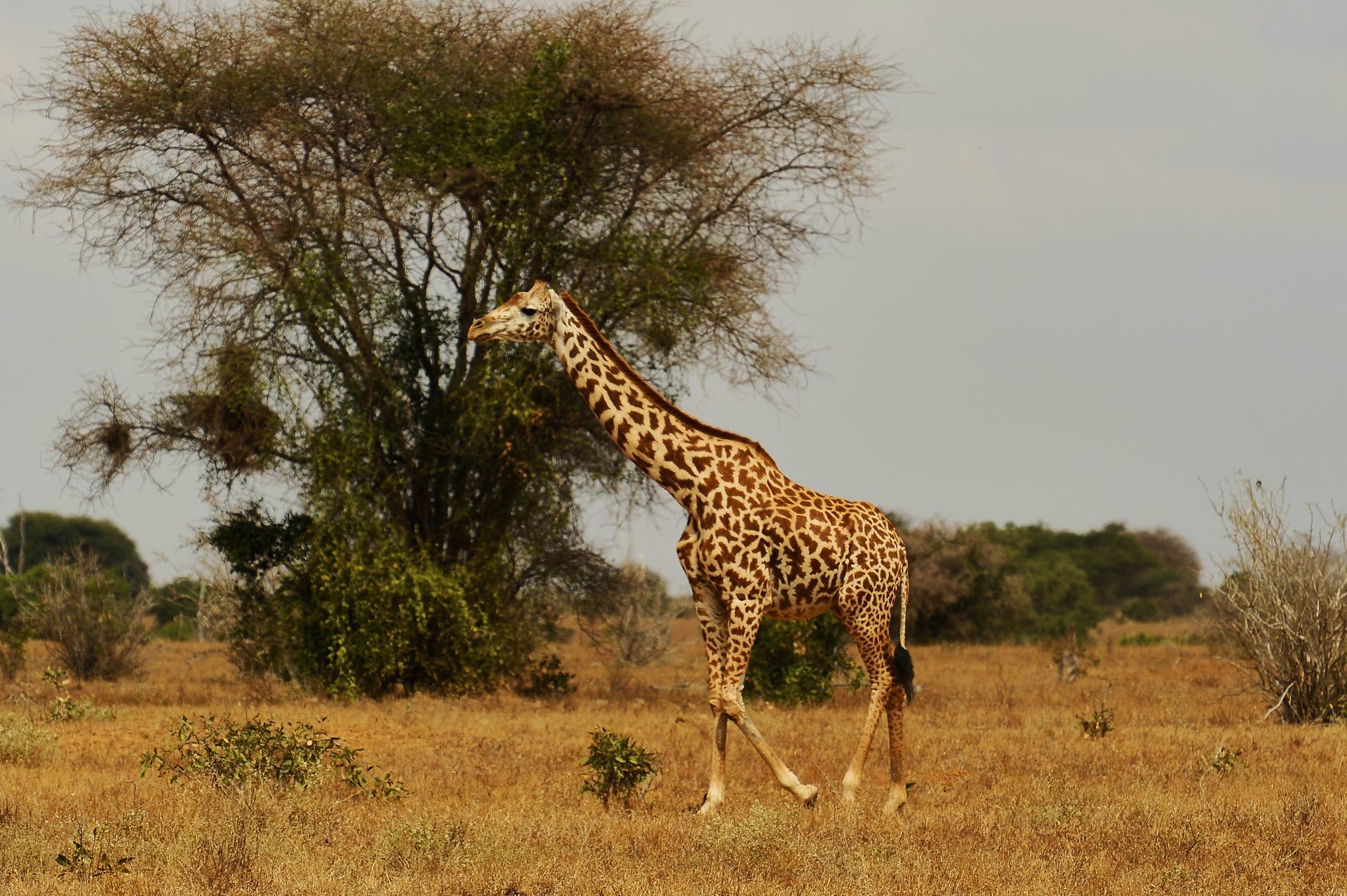 giraffa nel tsavo