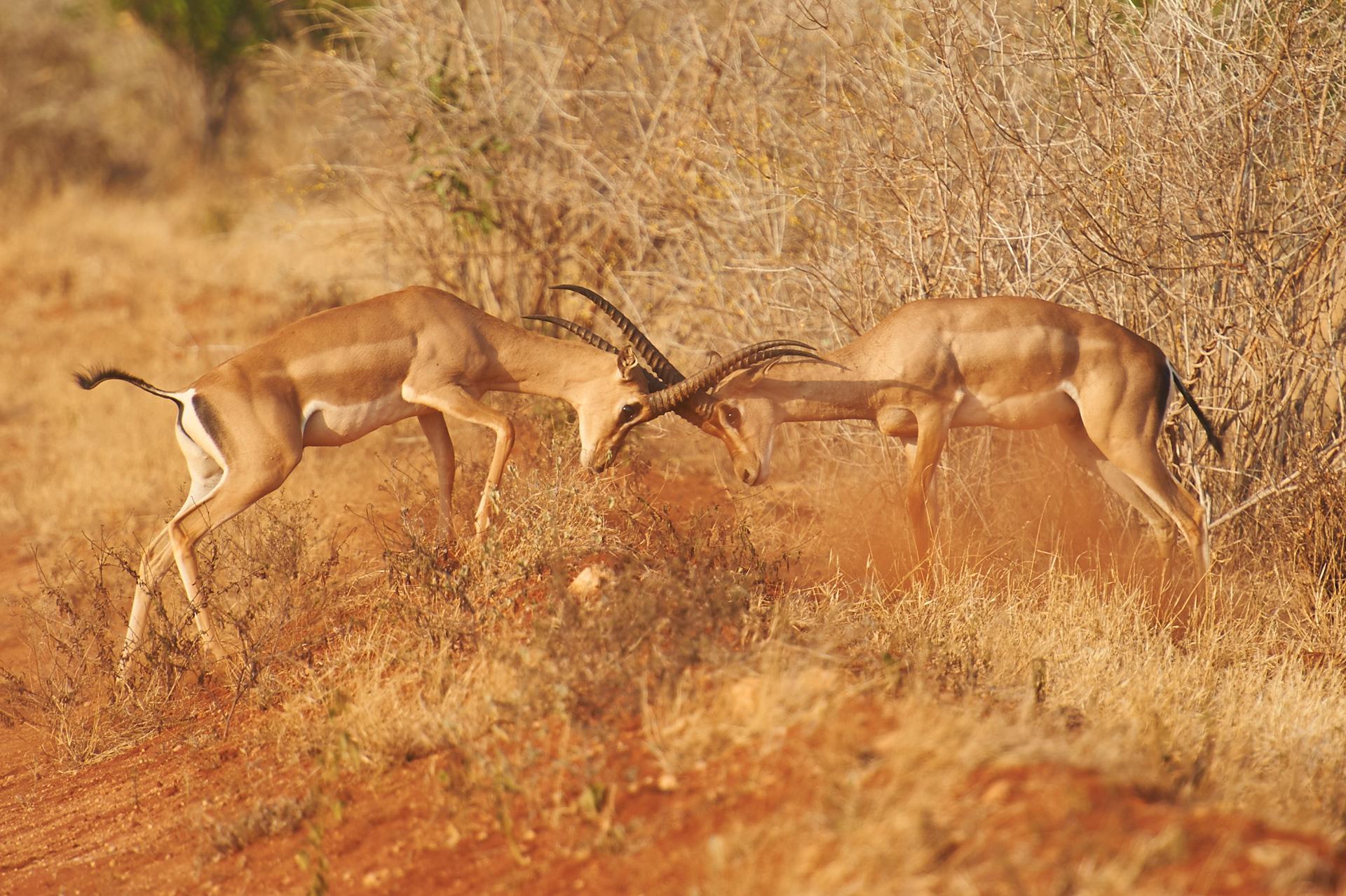 impala nel tsavo