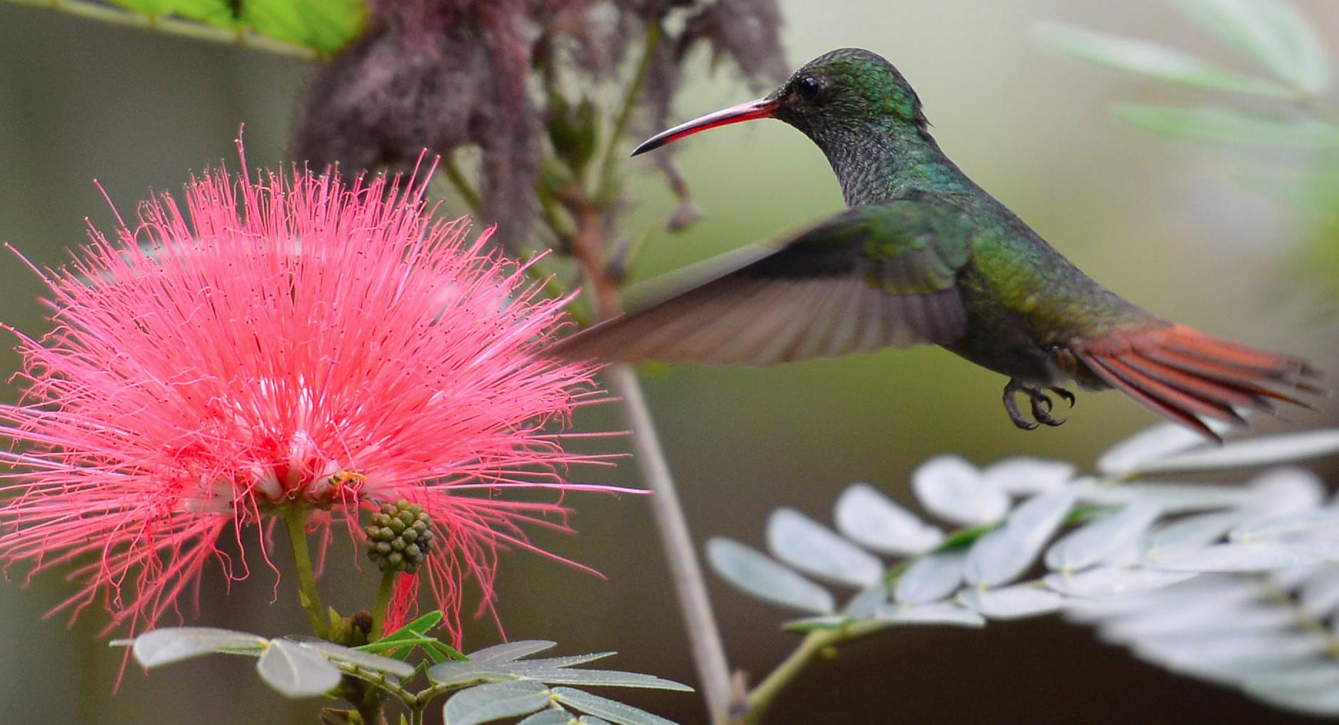 colibri selva verde