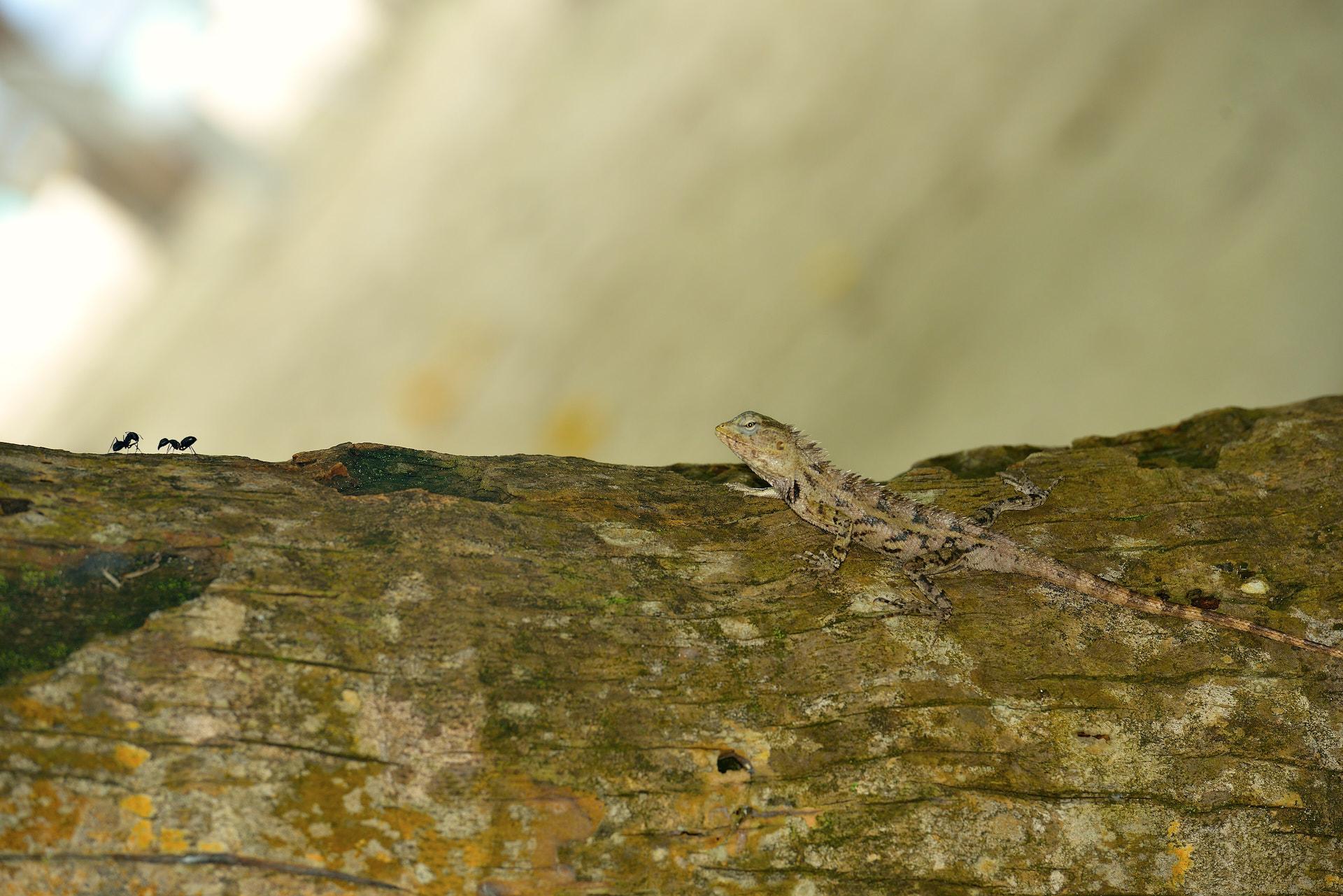 iguana e formiche