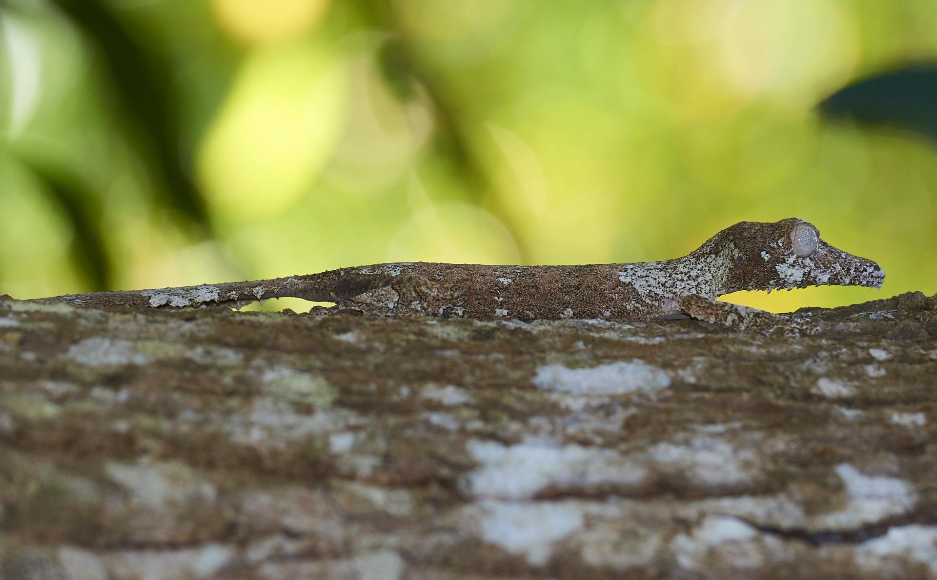 geco mimetico