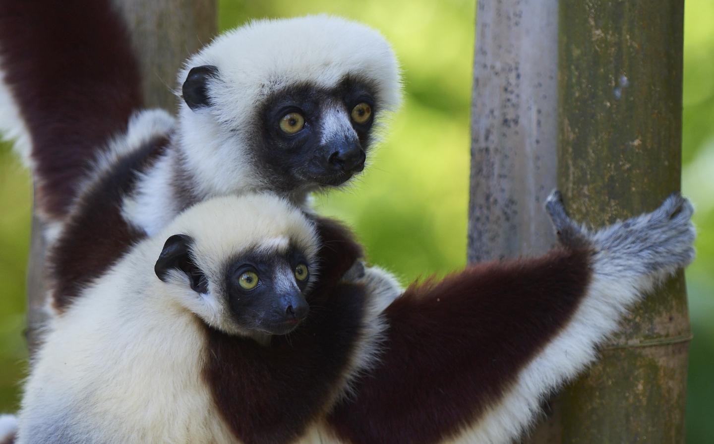Lemure Sifaka