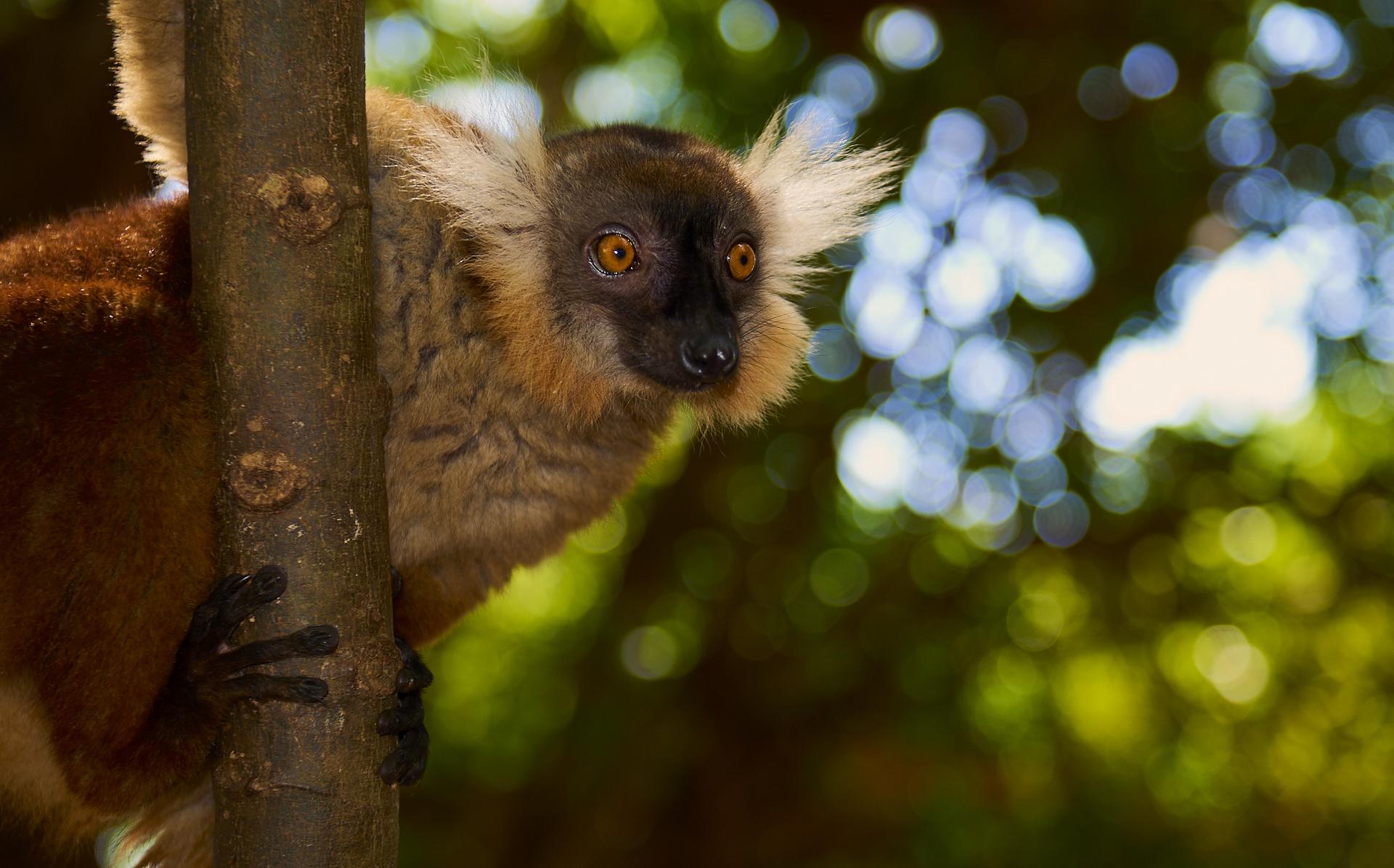 Lemure dell'albero Sacro