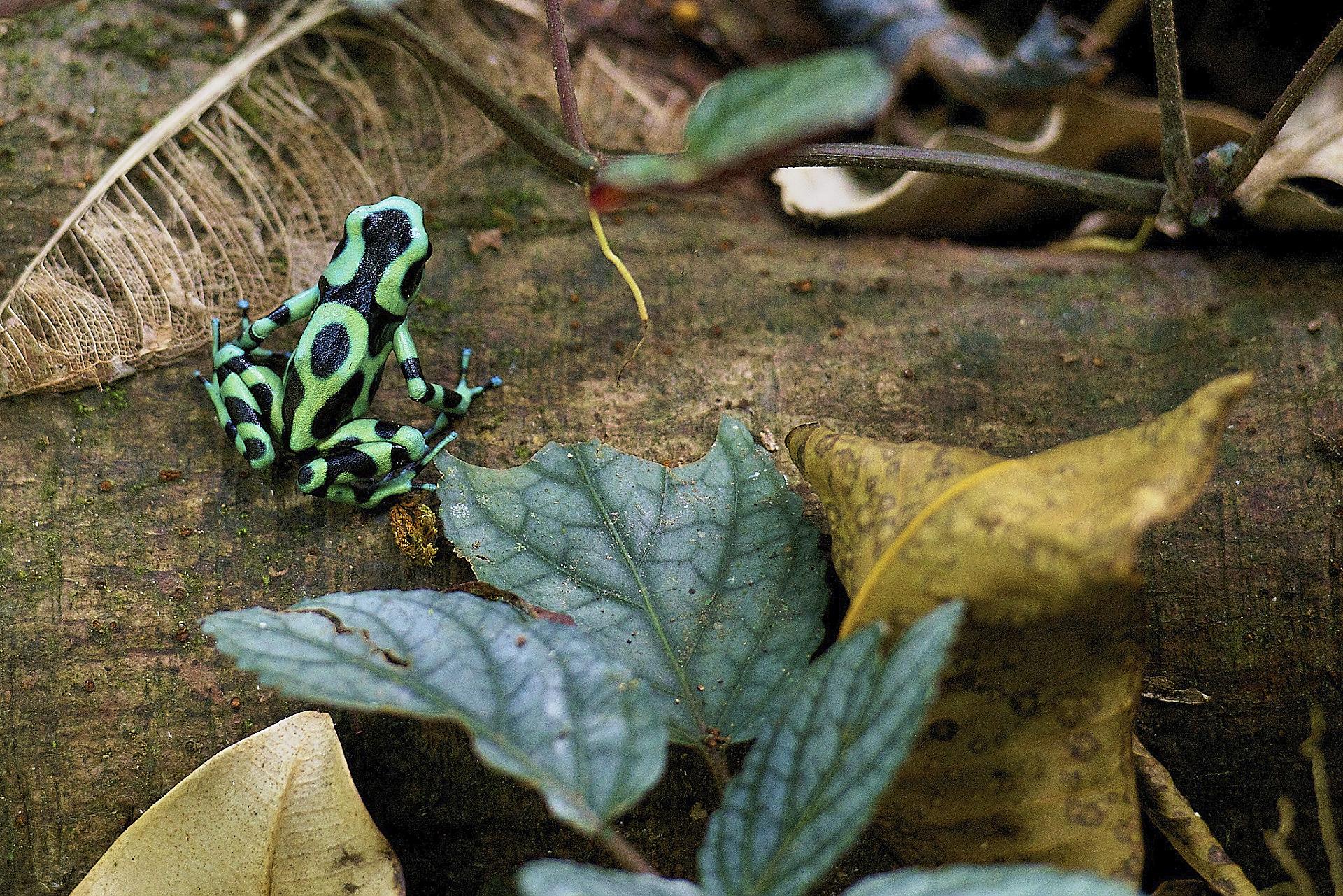 rana black green